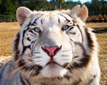 White tiger posing for camera